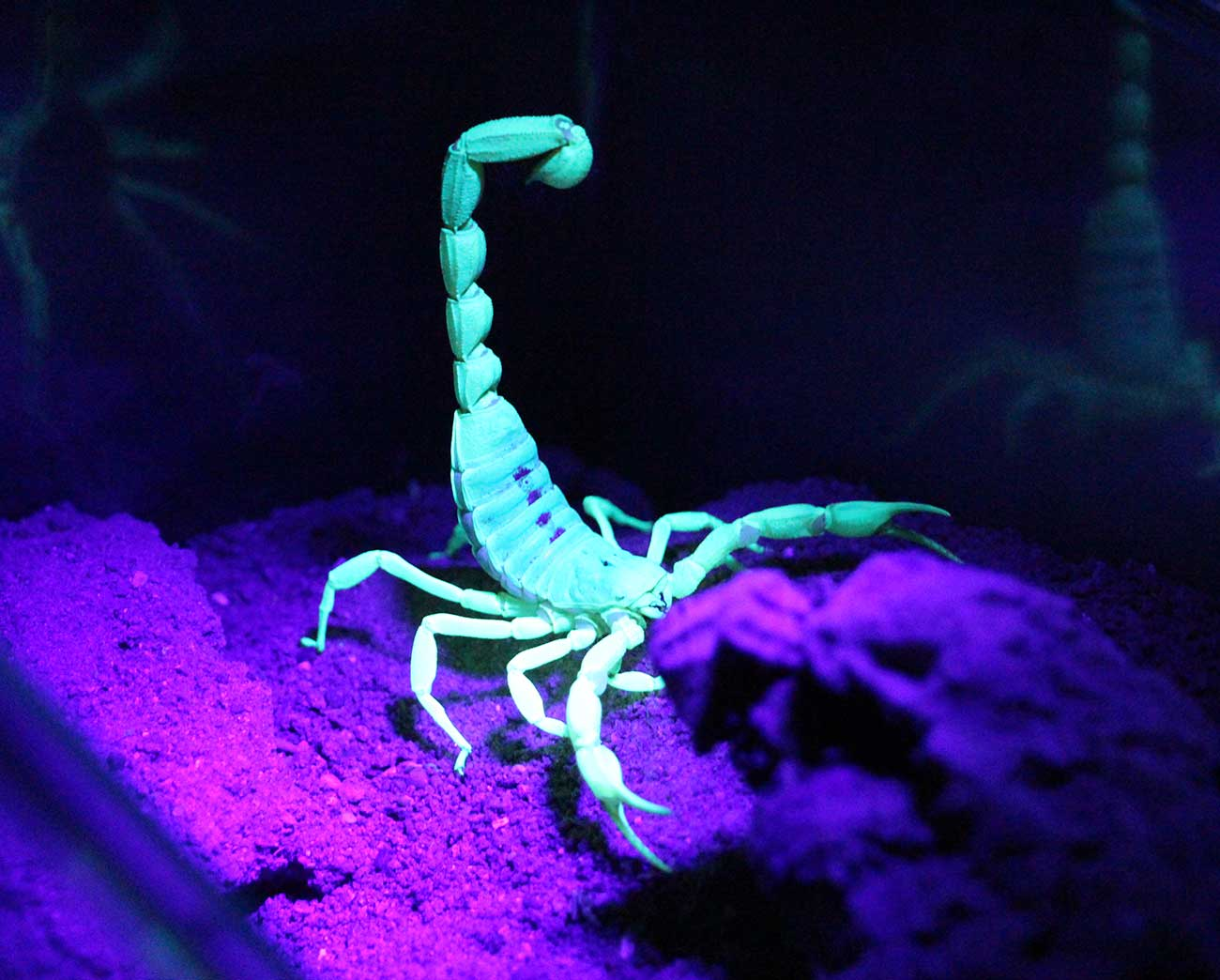 Desert hairy scorpion glows under UV light